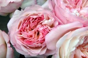 gardenrosepink