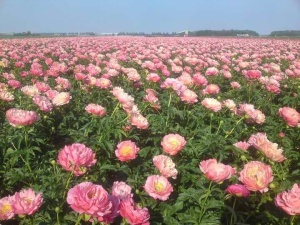 peonyflowerfield